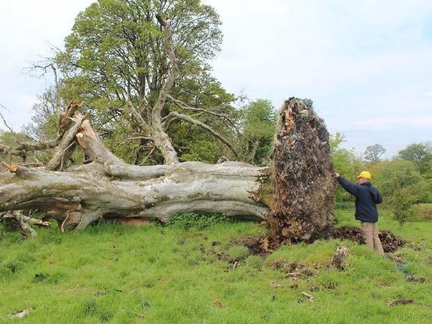 Partes de esqueletos são encontradas enroscadas em raízes que grande árvore que caiu durante tempestada na Irlanda (Foto: Reprodução/ Facebook/ Sligo-Leitrim Archaeological Services)