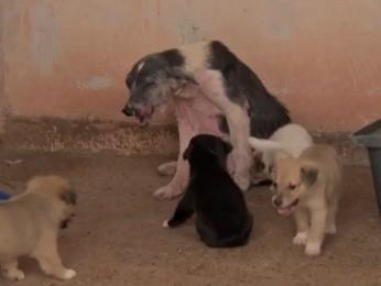 Cães com leishmaniose vinham sendo sacrificados (Foto: Reprodução/ TVCA)