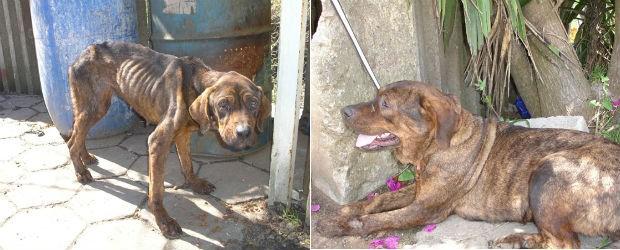 Foto mostra uma das cadelas quando recolhida e depois de tratada pelo casal  (Foto: Arquivo pessoal )