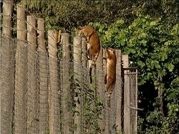 Quatis pulam a cerca elétrica coloca para proteger plantio de milho (Foto: Reprodução/TV Anhanguera)