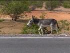 Animais soltos em rodovias do Sertão de PE oferecem perigo a motoristas