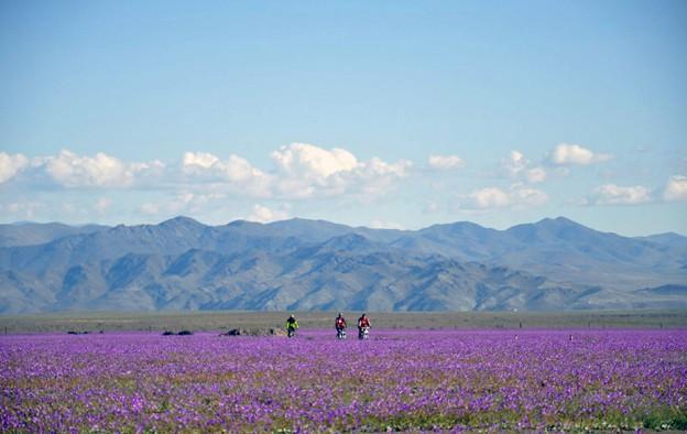 Flores de cor viva chamaram a atenção no Deserto do Atacama  (Foto: AFP Photo/Carlos Aguilar)