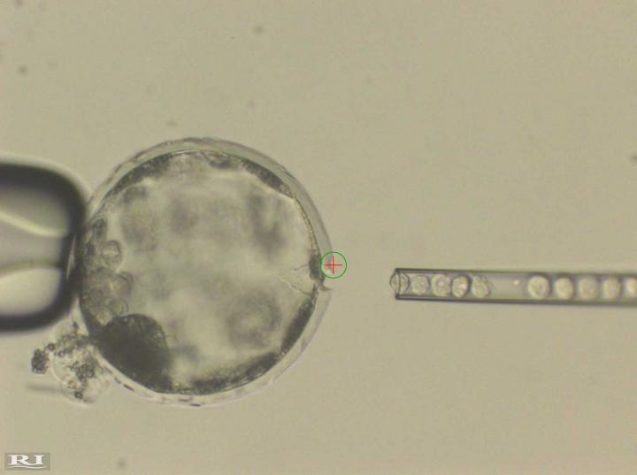 Injeção de células-tronco humanas em um blastocisto de porco (Foto: Divulgação/ Juan Carlos Izpisua Belmonte)
