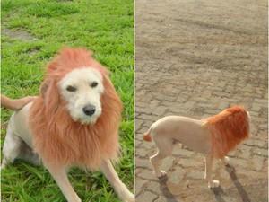 Primeiro cachorro adotado pela família em 2011 já foi transformado em leão (Foto: Heliziane Passos/arquivo pessoal)
