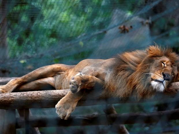 Leão dorme dentro de sua gaiola no jardim zoológico de Caricuao em Caracas (Foto: REUTERS/Carlos Jasso)