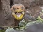 De tanto acasalar, tartaruga centenária consegue salvar sua espécie da extinção