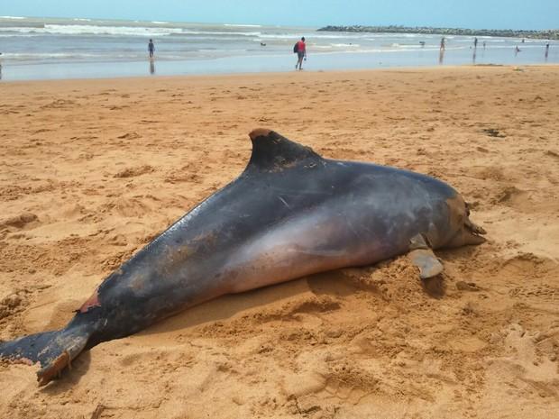 Golfinho foi encontrado morto na praia de Jacaraípe, na Serra (Foto: Divulgação/ CTA)