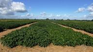 Plantio de soja gera lucros para agricultores sergipanos