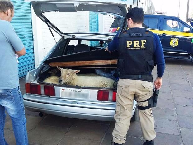 ovelhas porta-malas carro BR-285 Carazinho (Foto: Divulgação/PRF)