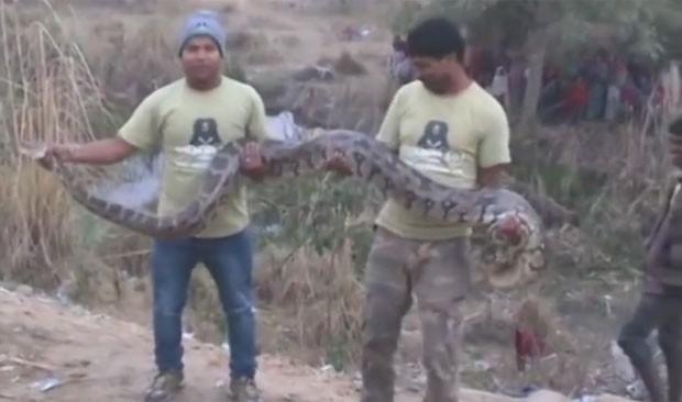 Píton foi capturada após provocar pânico perto de estrada na Índia (Foto: Reprodução/YouTube/Amar Ujala)