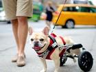 Veterinário explica quais os cuidados necessários com cães deficientes