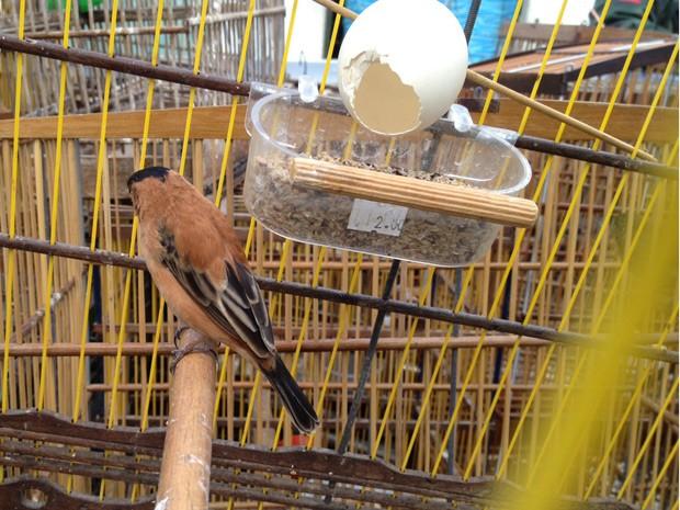Entre as espécies capturadas em Mandacaru haviam caboclinhos, sabiás e curiós, segundo a Polícia Ambiental  (Foto: Walter Paparazzo/G1)
