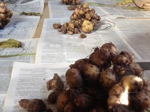 Mangarito é uma das PANCs produzidas em Pinda (Foto: Arquivo pessoal/Patrick Assumpção)