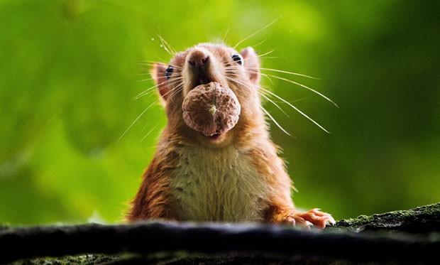 Um esquilo foi flagrado nesta quarta-feira (25) tentando devorar uma noz inteira em um jardim em Hannover, na Alemanha (Foto: Julian Stratenschulte/DPA/AFP)