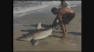Tubarão é encontrado na beira do mar em praia de Imbituba