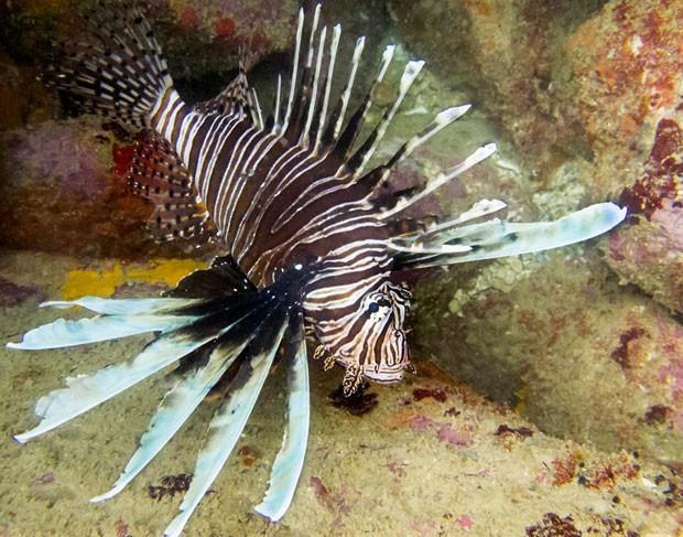 Exemplar de peixe-leão foi encontrado em maio de 2014 no no litoral brasileiro  (Foto: California Academy of Sciences/Divulgação)