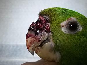 Animal chegou à clínica em Mogi com o bico lesionado (Foto: Jefferson Leite / Arquivo Pessoal)