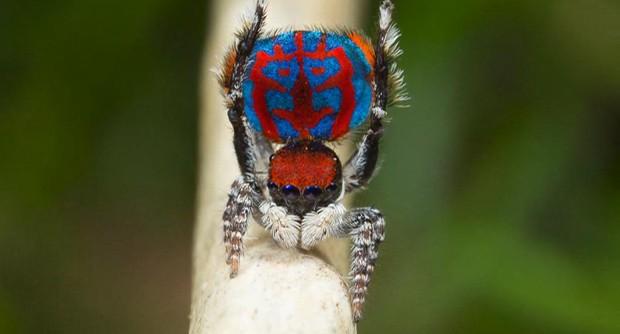 As aranhas-pavão da Austrália medem entre 3mm e 5mm (Foto: BBC)