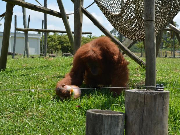 Picolés de fruta são dados semanalmente para animais (Foto: Beto Carrero World/Divulgação)