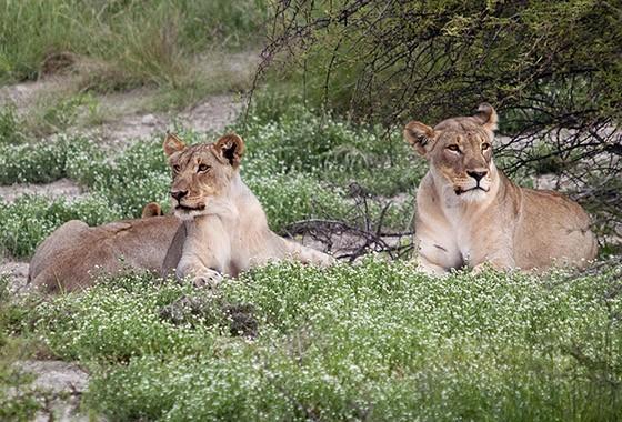 Em Etosha, no final da tarde, duas leoas descansam de olho no próximo jantar (Foto: © Haroldo Castro/ÉPOCA)