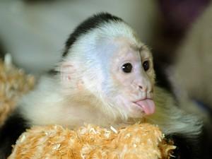 O macaco Mally, animação de estimação de Justin Bieber, está em abrigo na Alemanha em foto desta sexta-feira (31) (Foto: AP/Holger Hollemann)