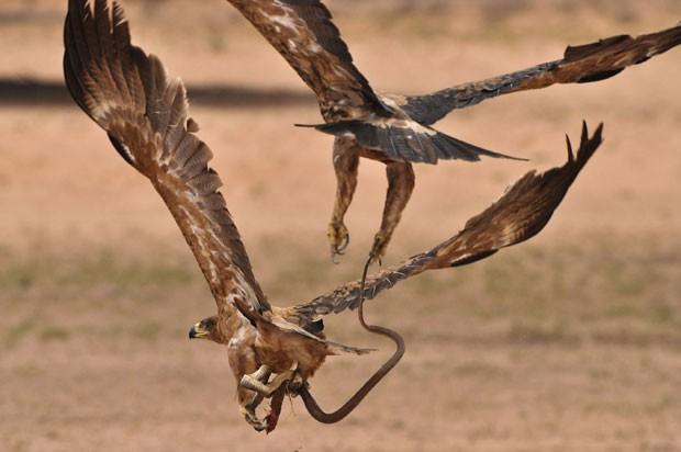 Águias brigaram em pleno ar por cobra em parque na Namíbia, e apenas uma conseguiu fazer a refeição (Foto: Anja Denker, BNPS/The Grosby Group)
