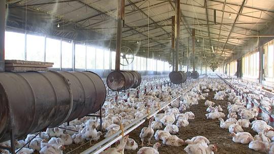 Abate de frangos deve crescer este ano