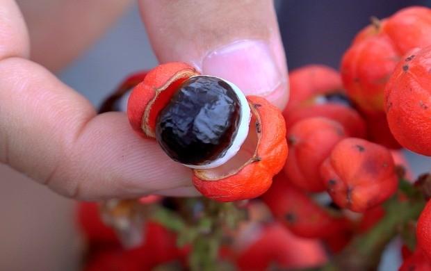 Programa mostra cultivo do guaraná (Foto: Amazônia Rural)