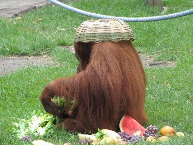 Orangotango Else ganha presente de Natal no Zoo do Rio (Foto: Esther Nazareth/Rio Zoo)