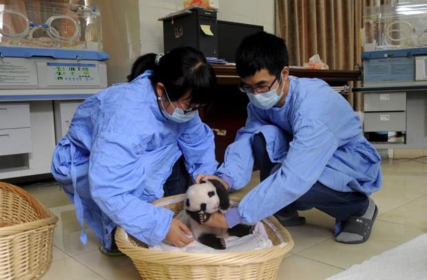 Pesquisadores colocam panda em cesta durante primeira aparição dos bichos para o público em Ya'an, na China  (Foto: Reuters/Stringer)