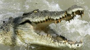 População de crocodilos vem crescendo desde a década de 70 (Foto: AP)