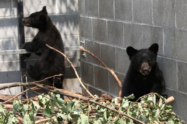 Mãe dos filhotes de urso foi sacrificada depois de invadir, pela segunda vez, um trailer  (Foto: Chad Hipolito/The Canadian Press via AP)