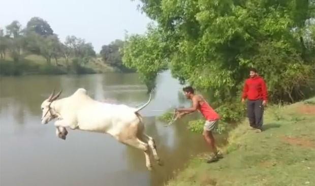 Vaca radical foi filmada saltando em rio (Foto: Reprodução/YouTube/Hirantha Dassanayake)