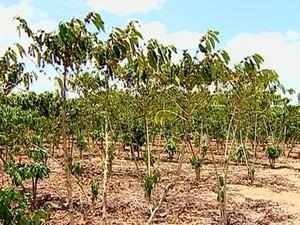 Plantação de café está ameaçada pela seca, em Vila Valério, no Espírito Santo (Foto: Reprodução/ TV Gazeta)