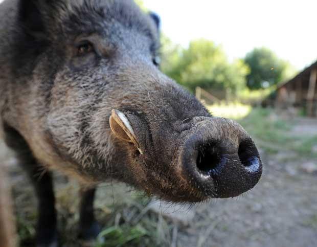 Reno tem 120 kg e é tratado como um cachorro na França (Foto: Pascal Lachenaud/ AFP)