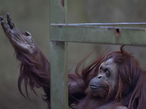 A orangotango Sandra, do zoológico de Buenos Aires, em foto de 22 de dezembro de 2014; inaugurado em 1875, local será transformado em parque (Foto: Natacha Pisarenko/AP)
