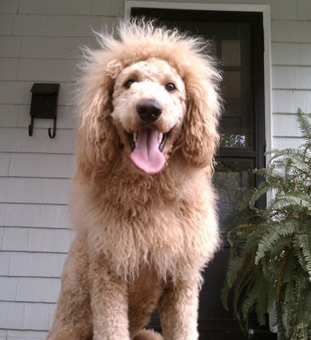 Charles é mistura de labrador e retriever, e é tosado para parecer um leão (Foto: Reprodução/Facebook)