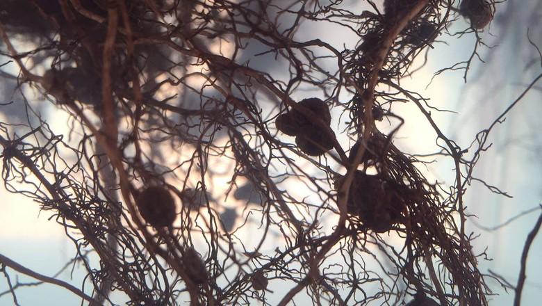 raízes-planta-soja-rizóbios (Foto: Viviane Taguchi)