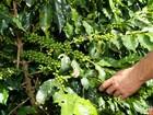 Com previsão de geada no Paraná, pés de café devem ser protegidos