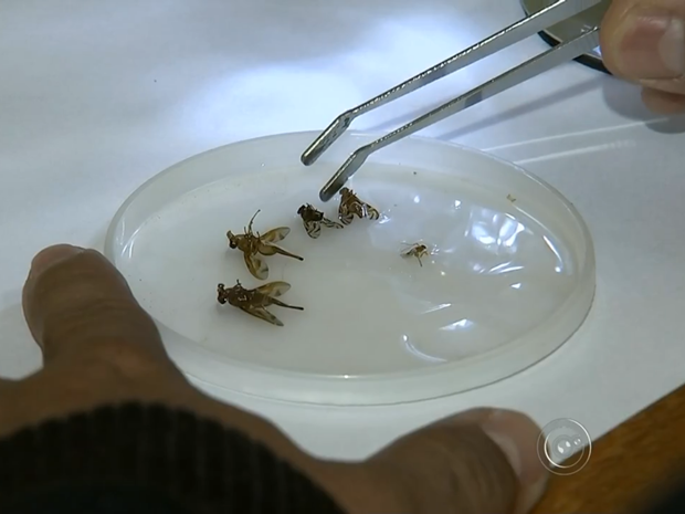 Alunos deixam que larvas e moscas nasçam em frutas, diz professor (Foto: Reprodução/TV TEM)