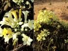 Biólogos acham espécies raras de plantas 'primas' do ipê e da carqueja