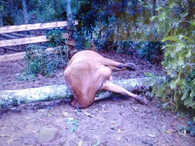 Vaca foi atingida pelo tronco de uma árvore em Quilombo, no Oeste catarinense (Foto: Eduardo Cristofoli/RBS TV)