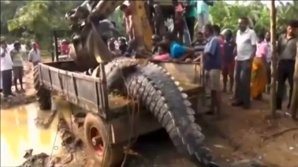 O animal é posto na caçamba de um caminhão