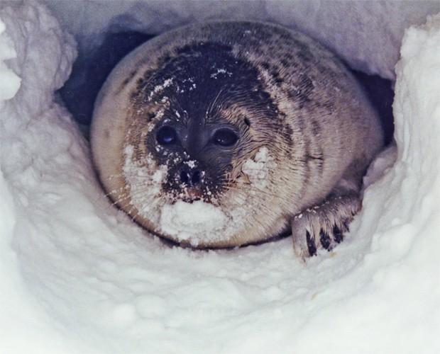 Foca anelada se arrasta para fora de túnel cavado em região do Ártico (Foto: Fundação Nacional de Ciência dos EUA/Divulgação)