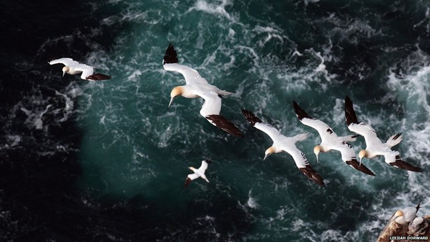Um ganso-patola adulto conduz três filhotes em uma corrente de ar nos penhascos de Hermaness, ponto mais ao norte das Ilhas Britânicas (Foto: Leejiah Dorward/BBC)