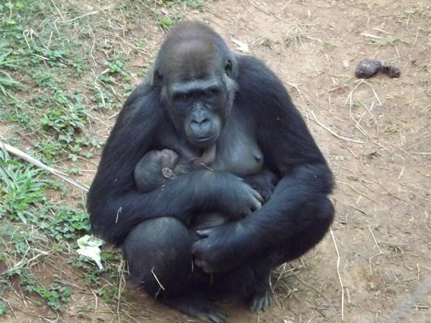 Nasce em Belo Horizonte o primeiro filhote de gorila da América do Sul. (Foto: Suziane Fonseca/ Fundação Zoo-Botânica)