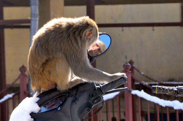 Um macaco foi flagrado neste domingo (16) enquanto se olhava no espelho de uma scooter na cidade de Shimla, na Índia (Foto: AFP)