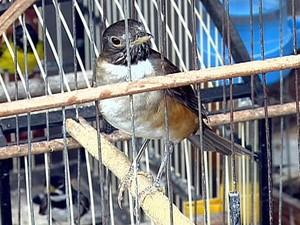 Pássaros estavam sem identificação do Ibama para criação em cativeiro (Fot RPC TV Maringá/Reprodução)