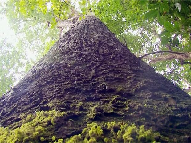Cicunferência de mais de 2 metros de jequitibá de Cássia indica 'idade' de mais de 2 mil anos (Foto: Reprodução EPTV)