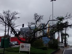 Cerejeira foi plantada em praça na década de 80 (Foto: Maiara Barbosa/G1)